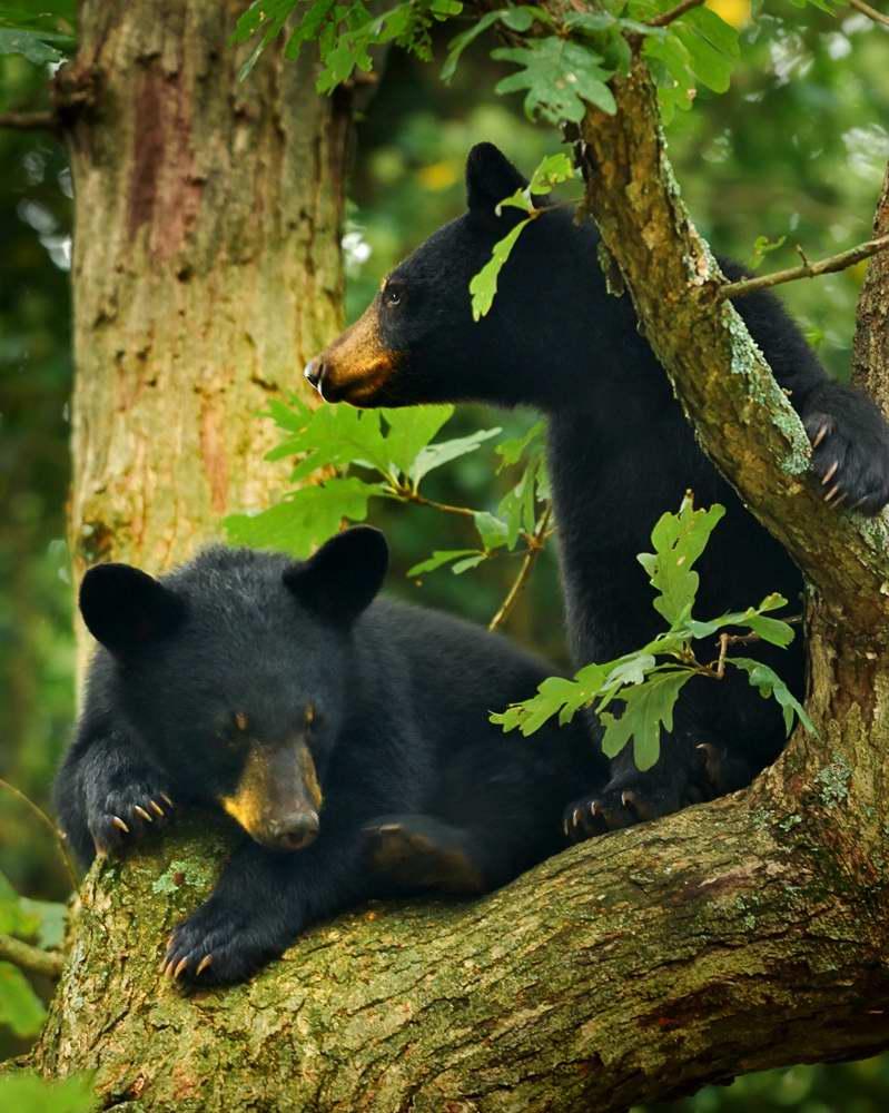 BEAR CUBS 4