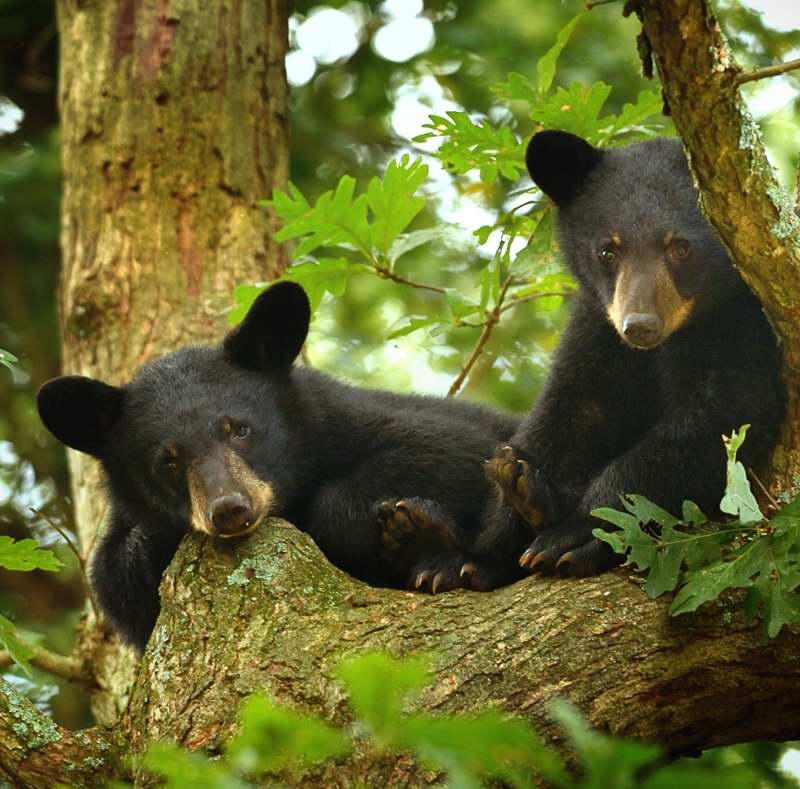 BEAR CUBS 5