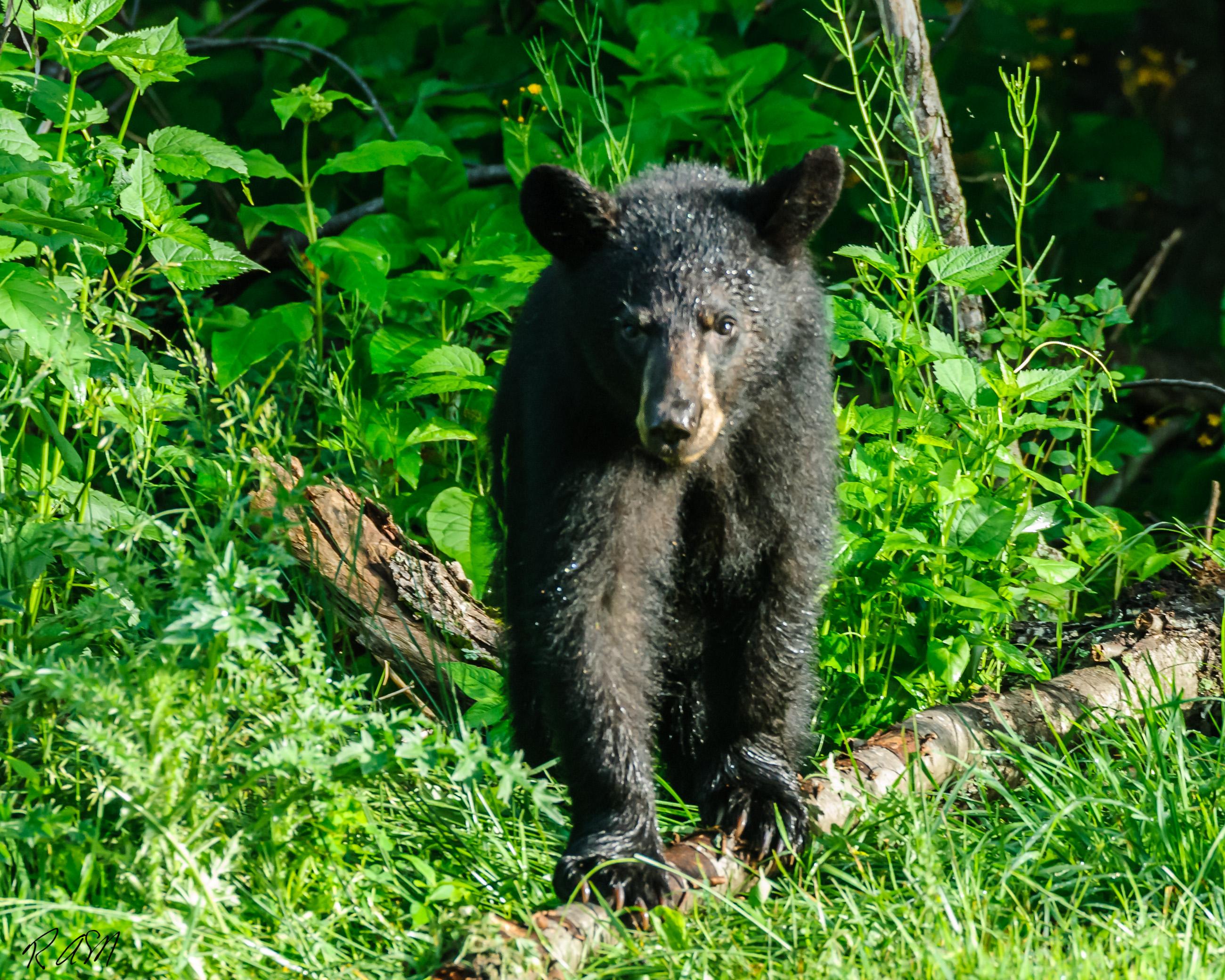 WildlifeYearling Black Bear
