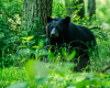 WildlifeMother Black Bear