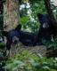 Black Bears-4