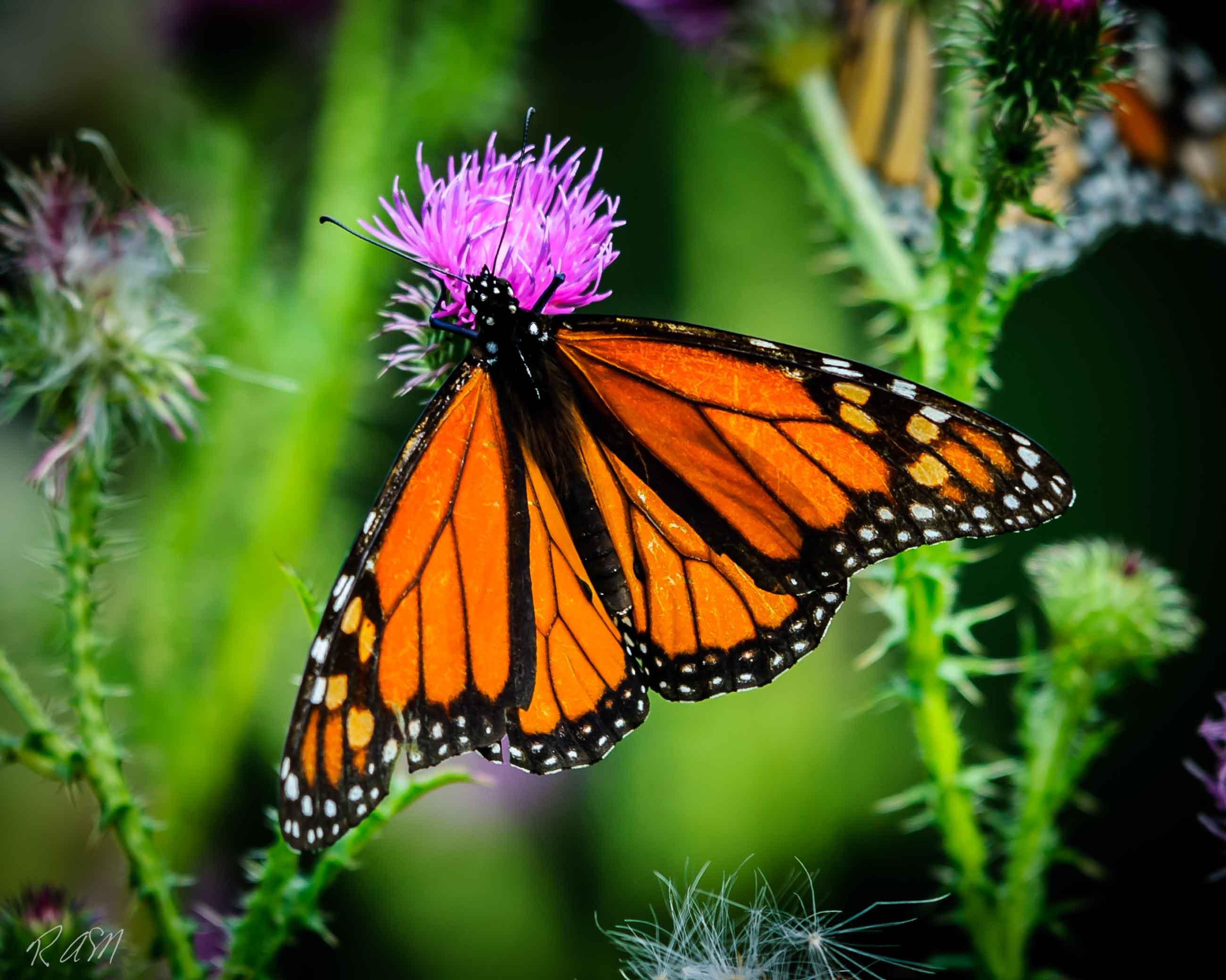 Butterflies-18