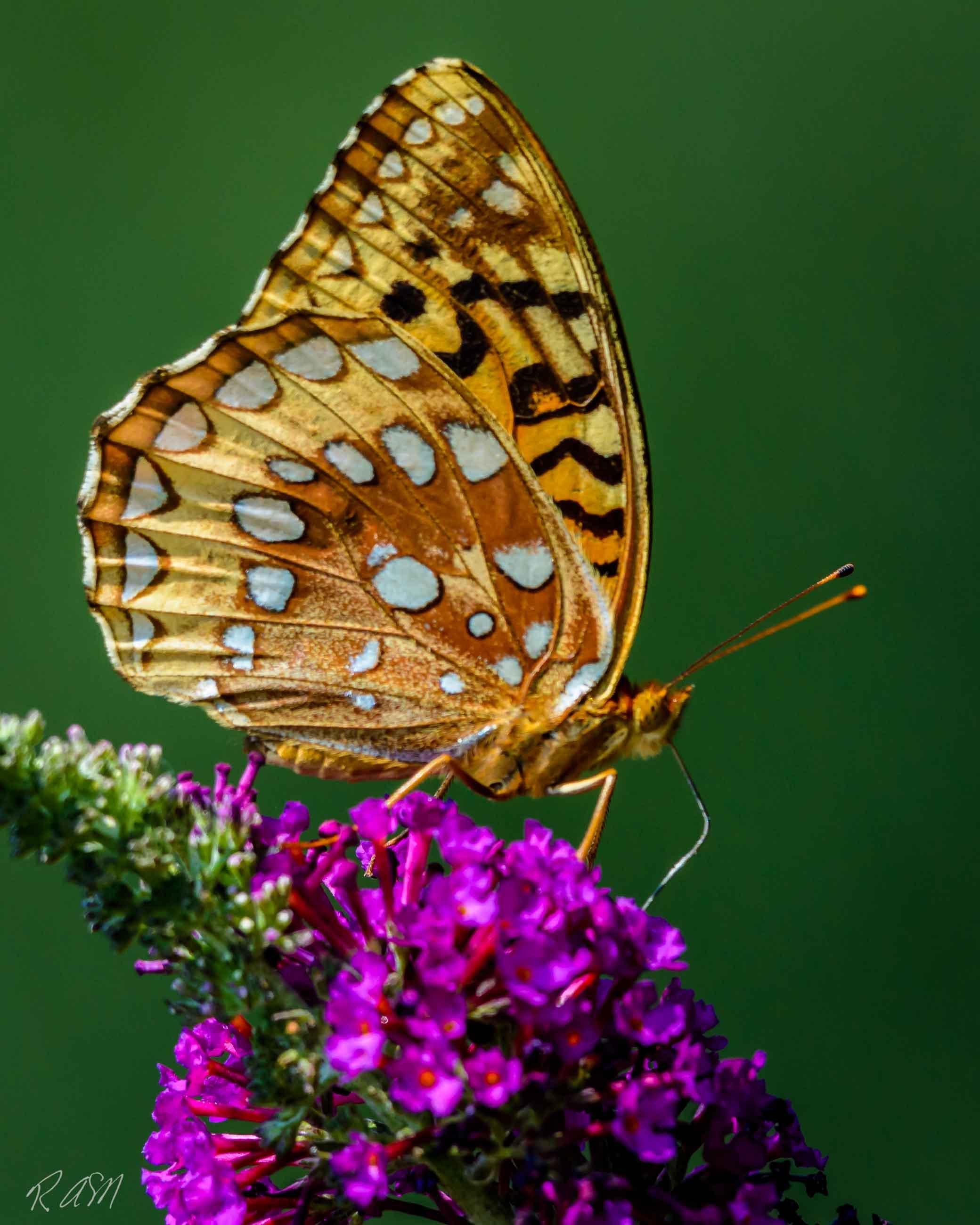 Butterflies-20