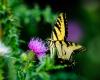 Butterflies-16
