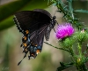 Butterflies-13