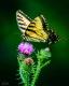 Butterflies-15