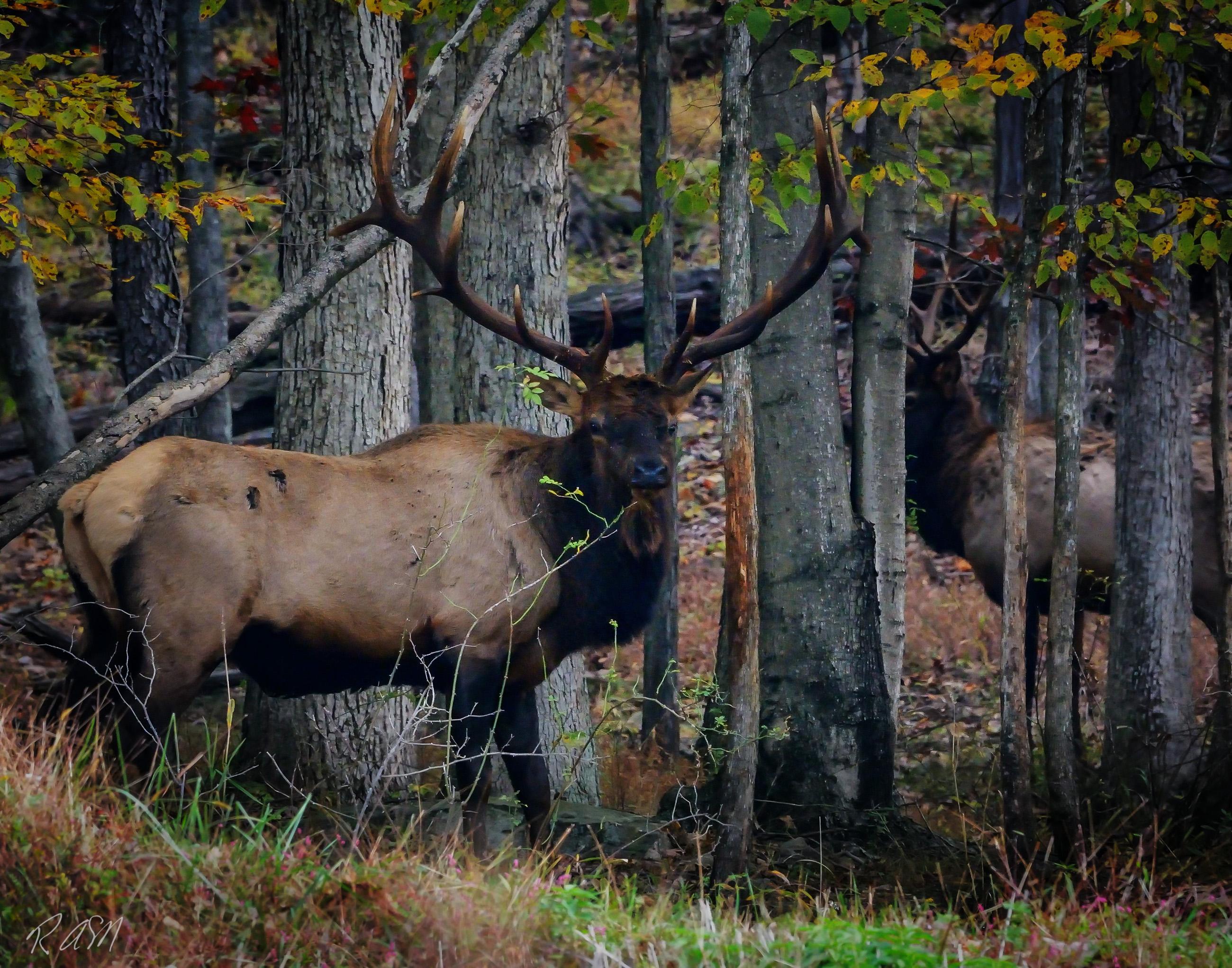 Elk-13