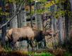 Elk-12