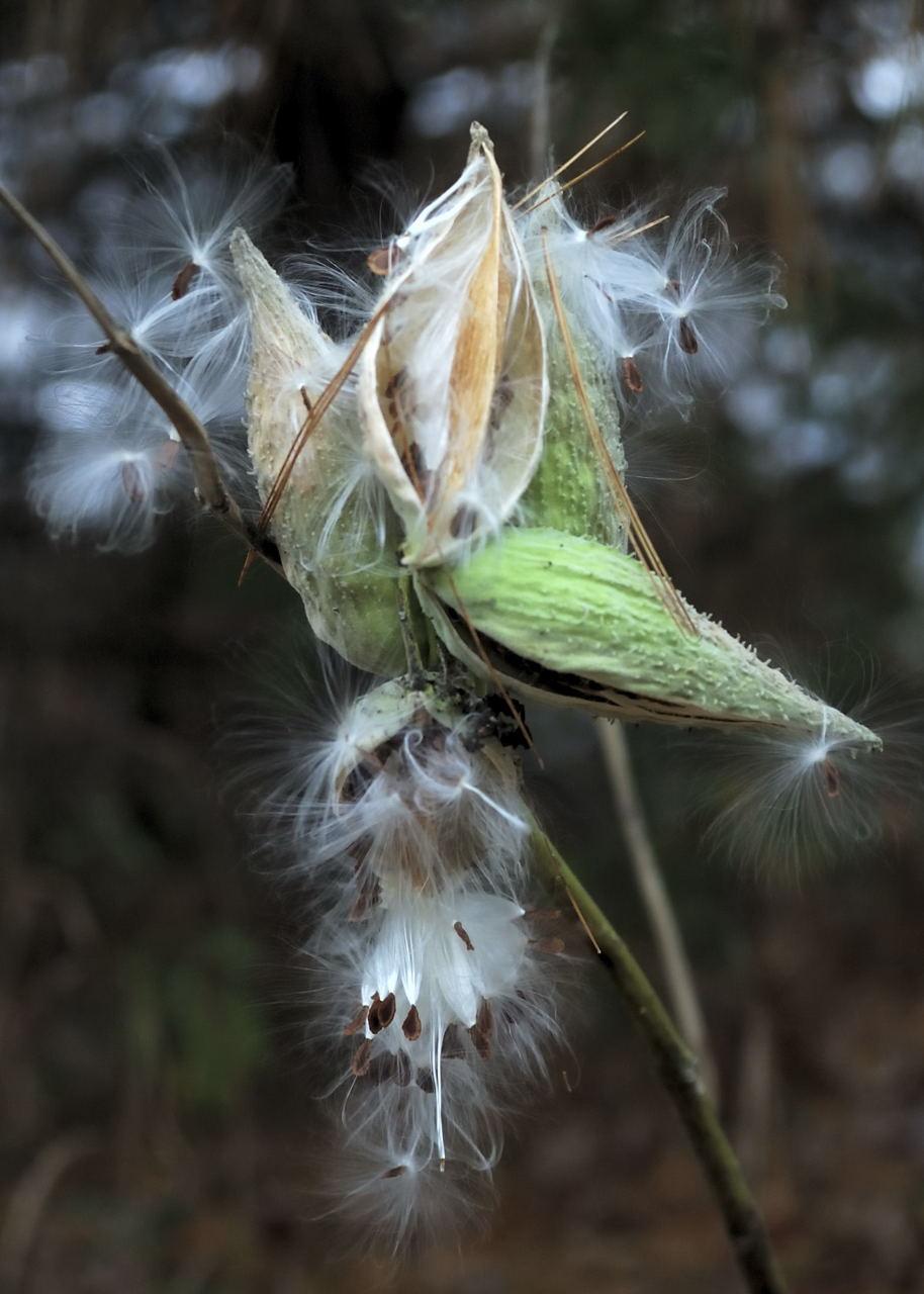 Fall Milkweed