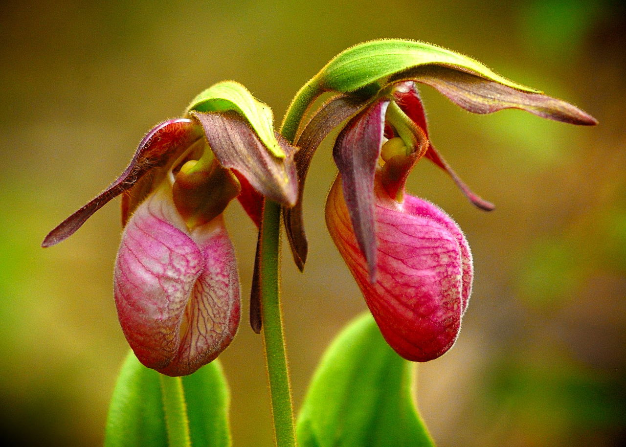 Pair Pink Lady Slippers #2