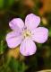 Cranebill - Wild Geranium