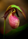 Pink Lady Slipper 1
