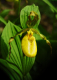 Yellow Lady Slipper #1