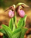 Pair Pink Lady Slippers #1