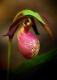 Pink Lady Slipper 1