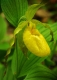 Yellow Lady Slipper #2
