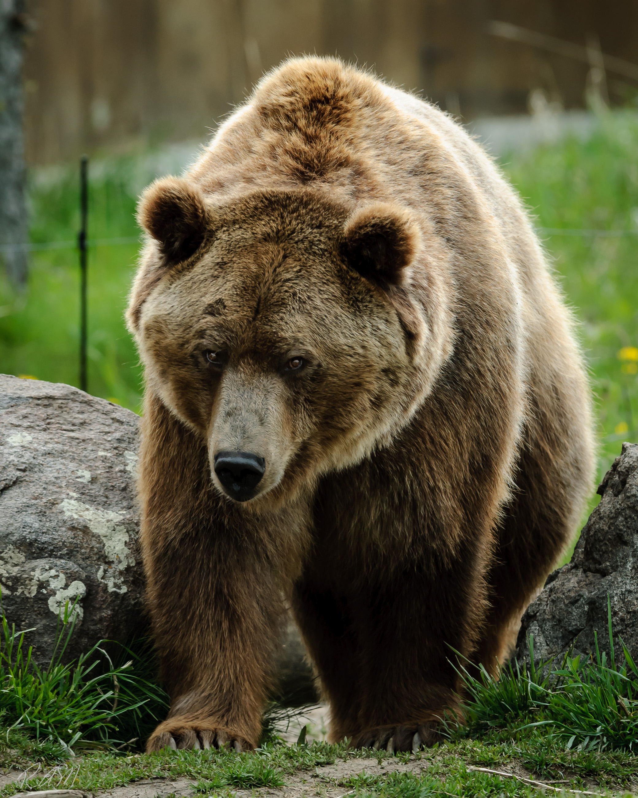 Grizzley Bears-2