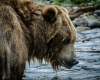 Grizzley Bears-3