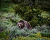 Grizzley Bears-5