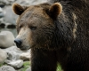 Grizzley Bears-6