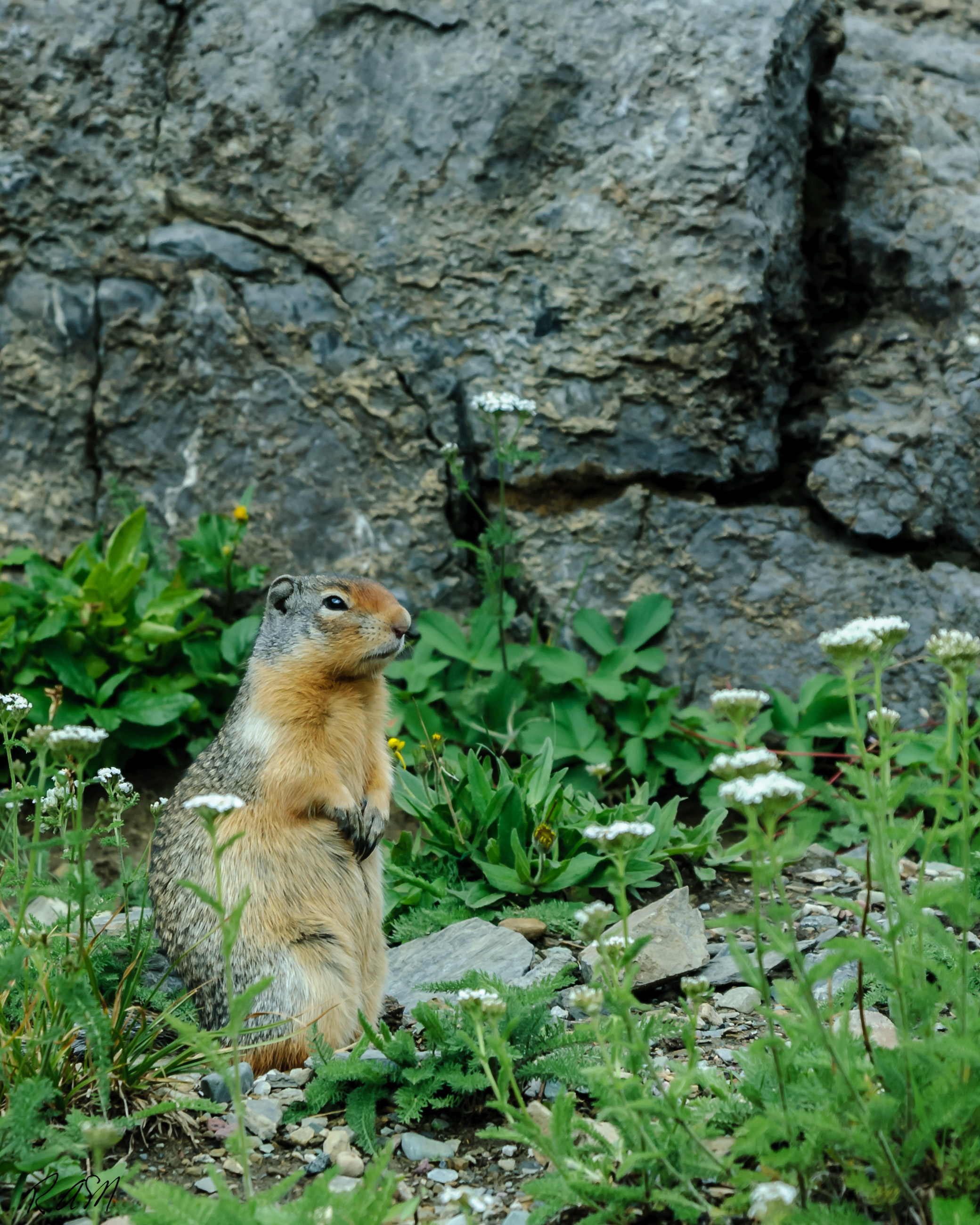 Wildlife Columbian Ground Squirrel