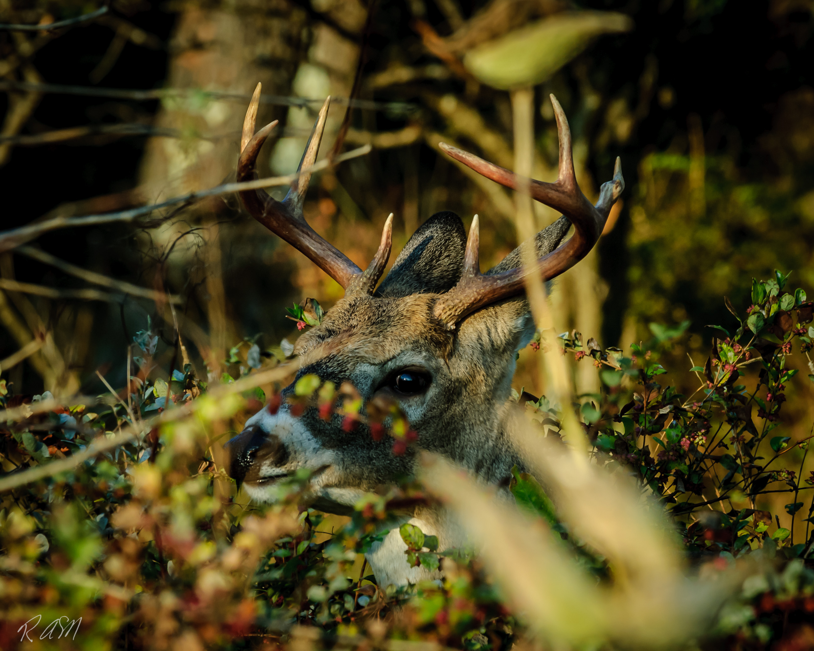 WildlifeWhitetail Buck