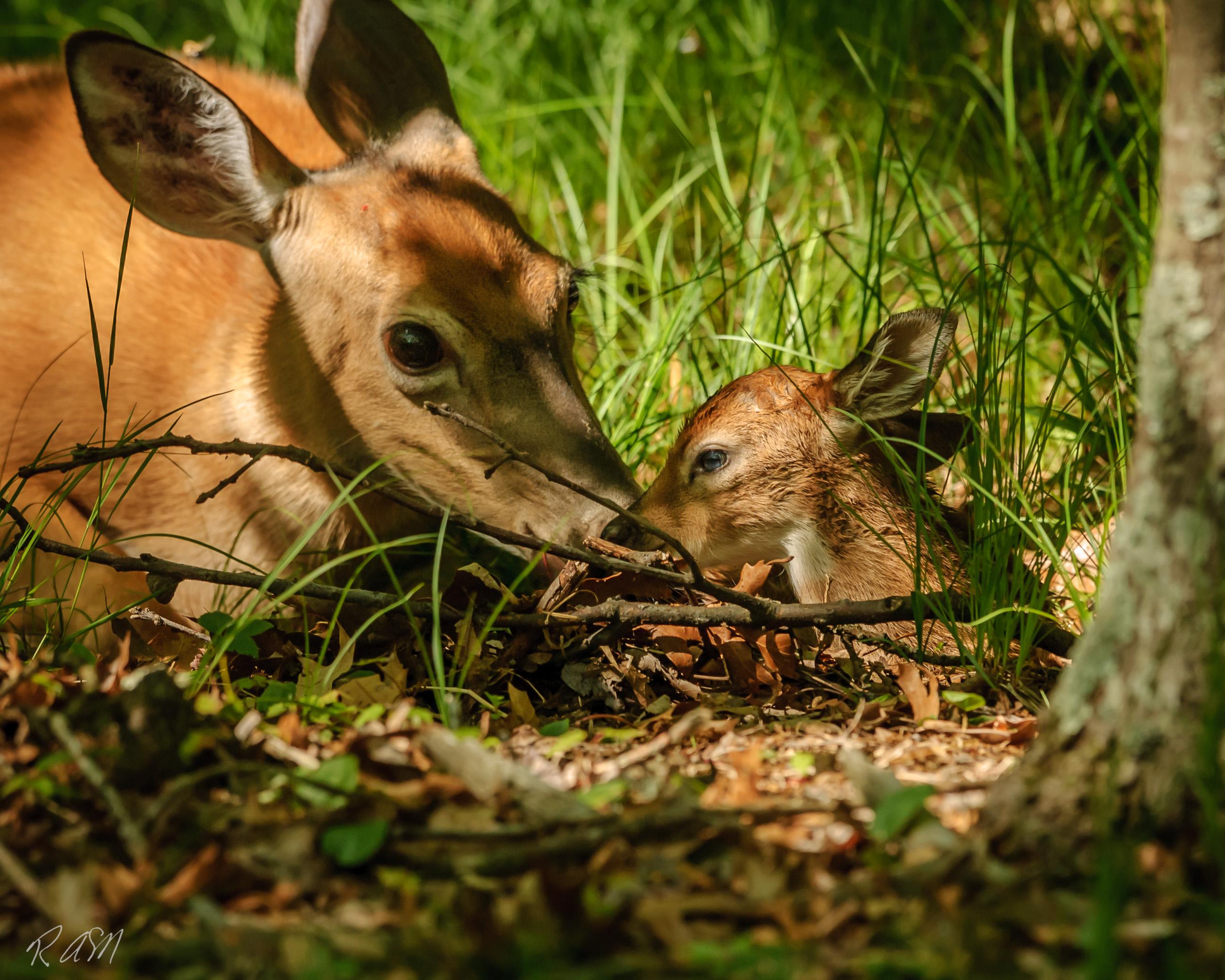 Whitetailed Deer-10