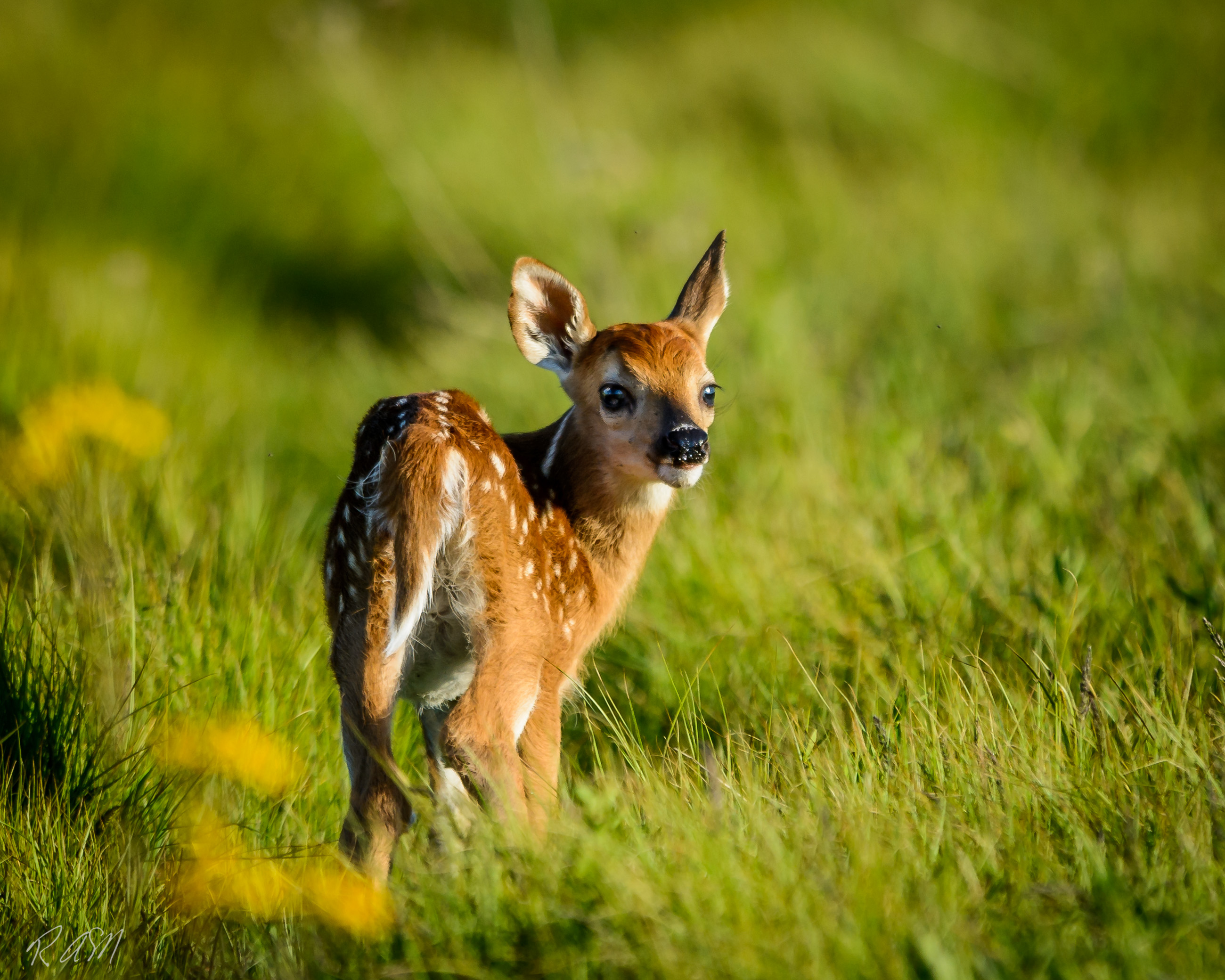 Whitetailed Deer-15
