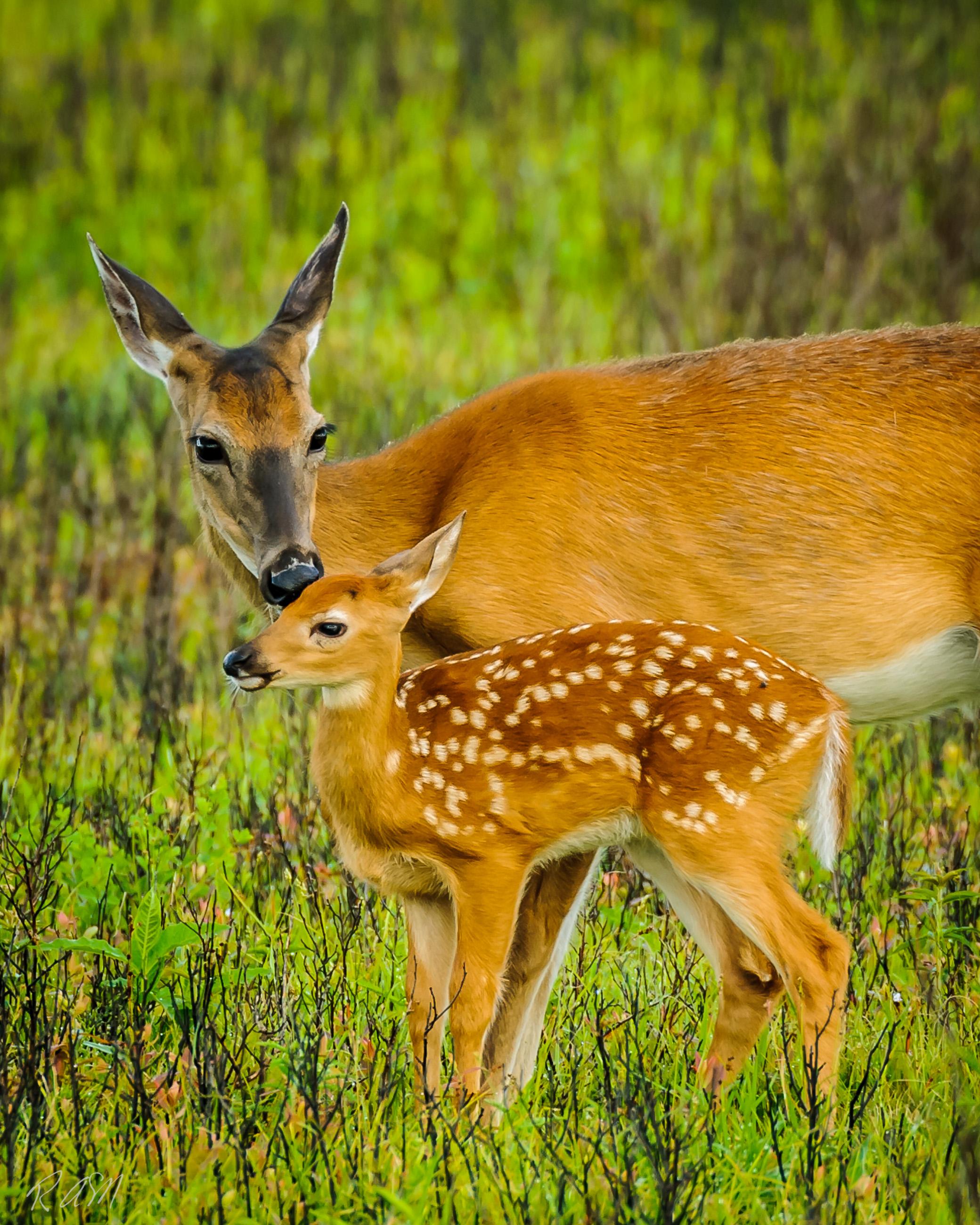 WildlifeWhitetail Doe & Fawn