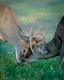 Whitetailed Deer-8