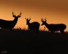 Whitetailed Deer-9
