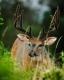 Whitetailed Deer-12