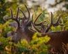 Whitetailed Deer-13