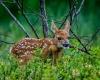 Whitetailed Deer-16