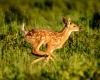 Whitetailed Deer-17