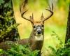 Whitetailed Deer-5