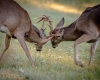 Whitetailed Deer-7